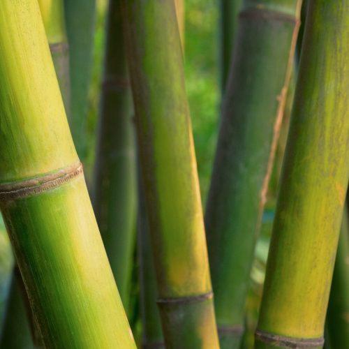 Bamboo close up in bamboo grove. China